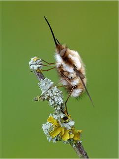 Bee fly, Bombylius major
