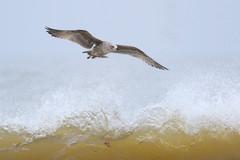 Immature Herring gull