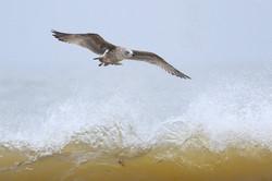 Immature Herring Gull by Philip Mugridge