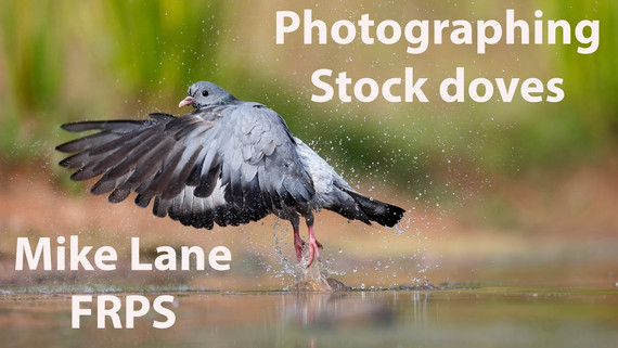 Photographing Stock Doves