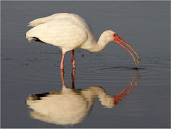 White ibis catching crab