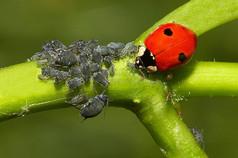 Two spot ladybird