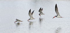 Black skimmers group fishing