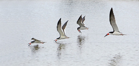 Black skimmers group fishing