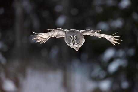 Great-grey owl 99261.jpg