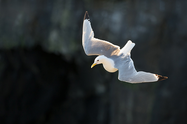 Kittiwake_In_Flight_©ChrisOReilly_b35d20