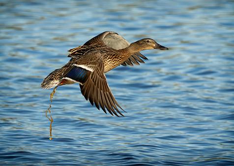 Female Mallard taking off