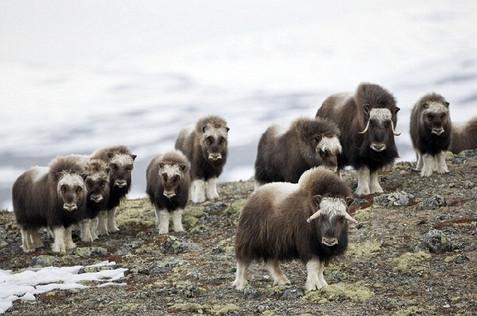 Musk oxen herd