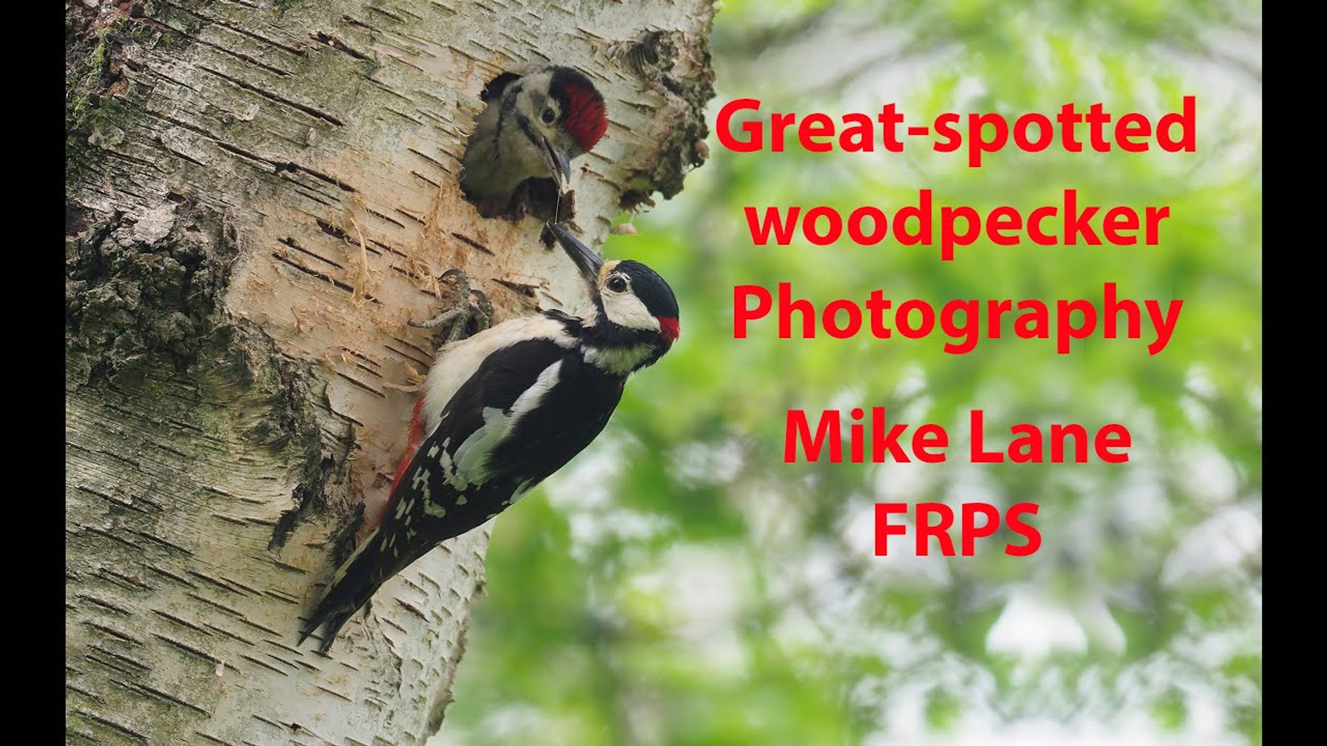 Photographing Great-spotted Woodpeckers