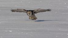 Hawk owl 99204.jpg