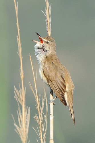 Great-reed warbler