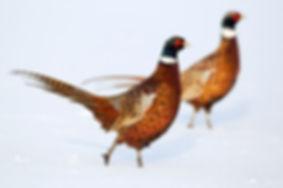 Common pheasant A0639.jpg