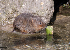 Water vole carrying leaf