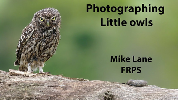 Photographing Little owls