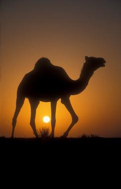 Arabian camel 26.jpg