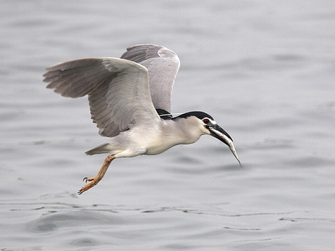 Nycticorax with catch
