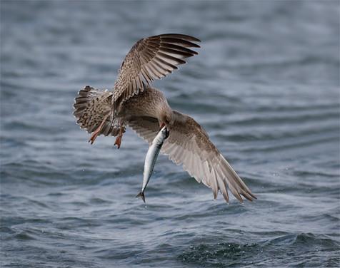 Immature Herring gull with fish
