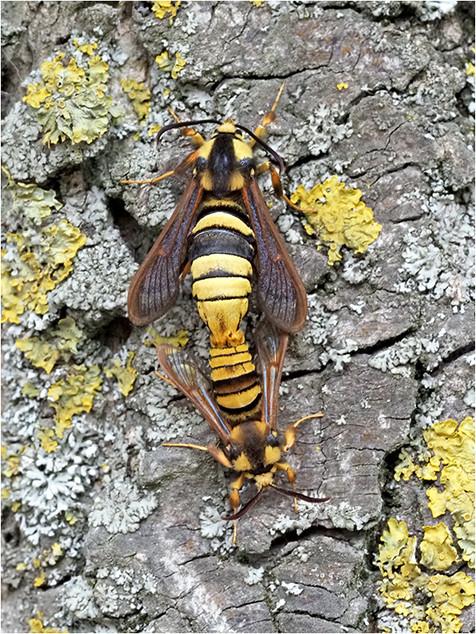 Hornet moths in copulation