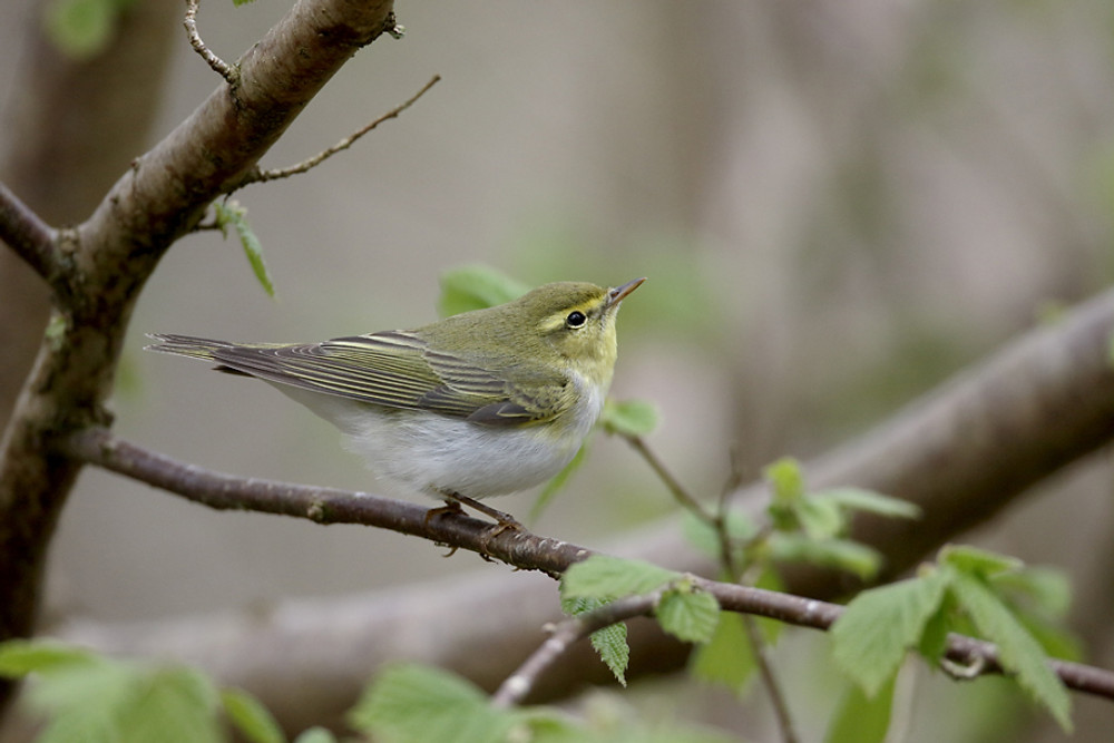 Wood warbler,  Phylloscopus sibilatrix