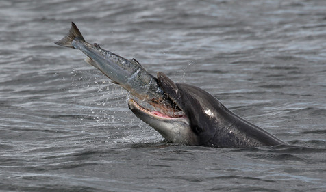 Bottlenose dolphin with Salmon