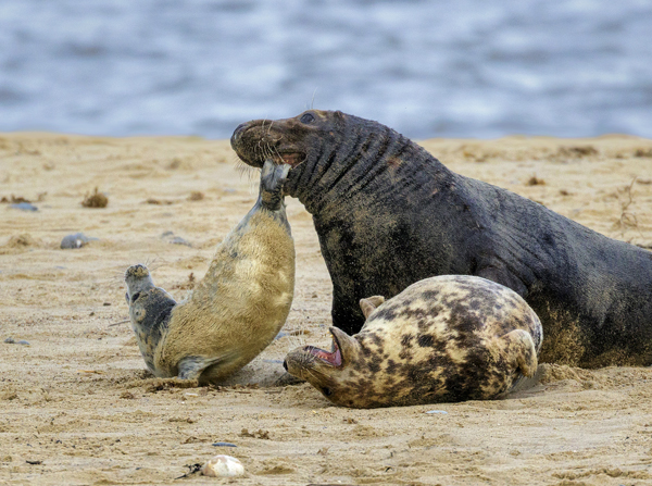 Grey Seal Aggression