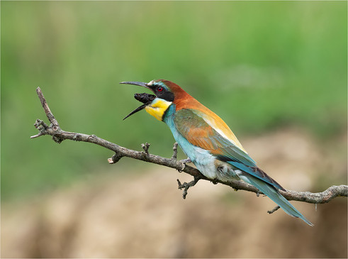 Bee-eater ejecting pellet