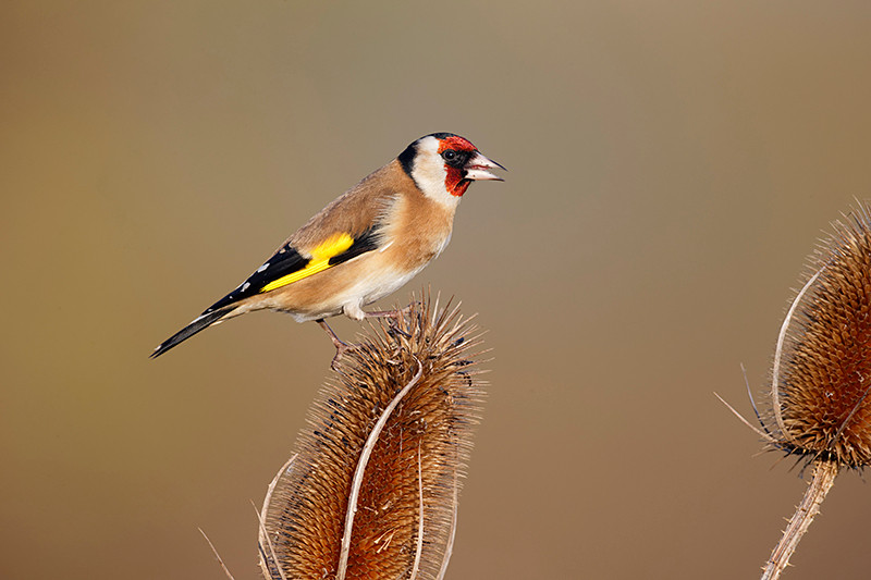 Goldfinch D0017