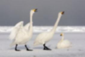 Whooper swan 94144.jpg