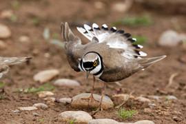 Little-ringed plover B1533.jpg