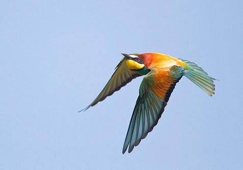 Bee-eater in flight