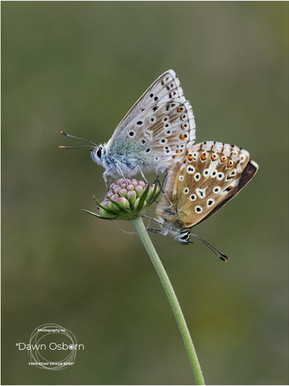 Chalkhill Blues paired