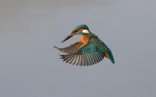 Kingfisher A0546.jpg