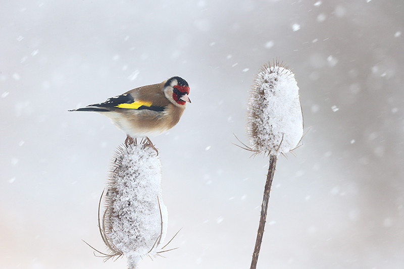 Goldfinch D0598