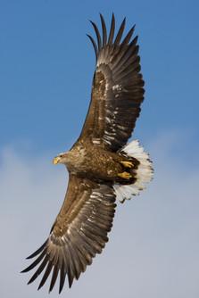 White-tailed sea-eagle 93997.jpg