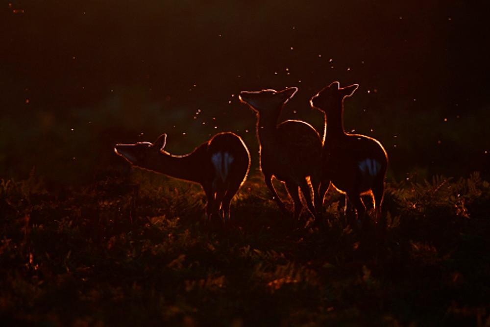 Sika deer, Cervus nippon
