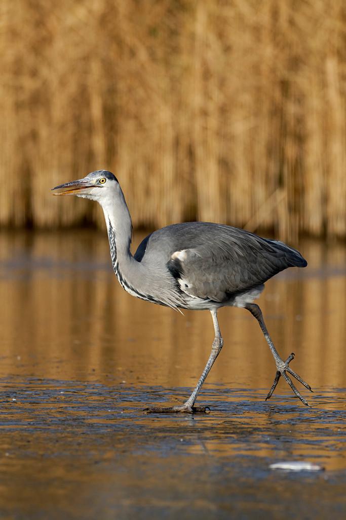 Grey heron, Ardea cinerea, single bird on ice, Warwickshire, December 2012