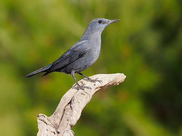 Blue rock thrush K19429.jpg