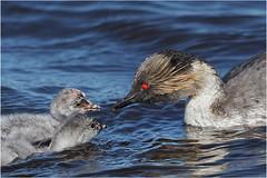Silvery grebe parent feeding chicks