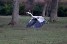 Grey heron D0223.jpg