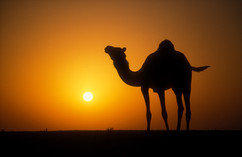Arabian camel 19.jpg