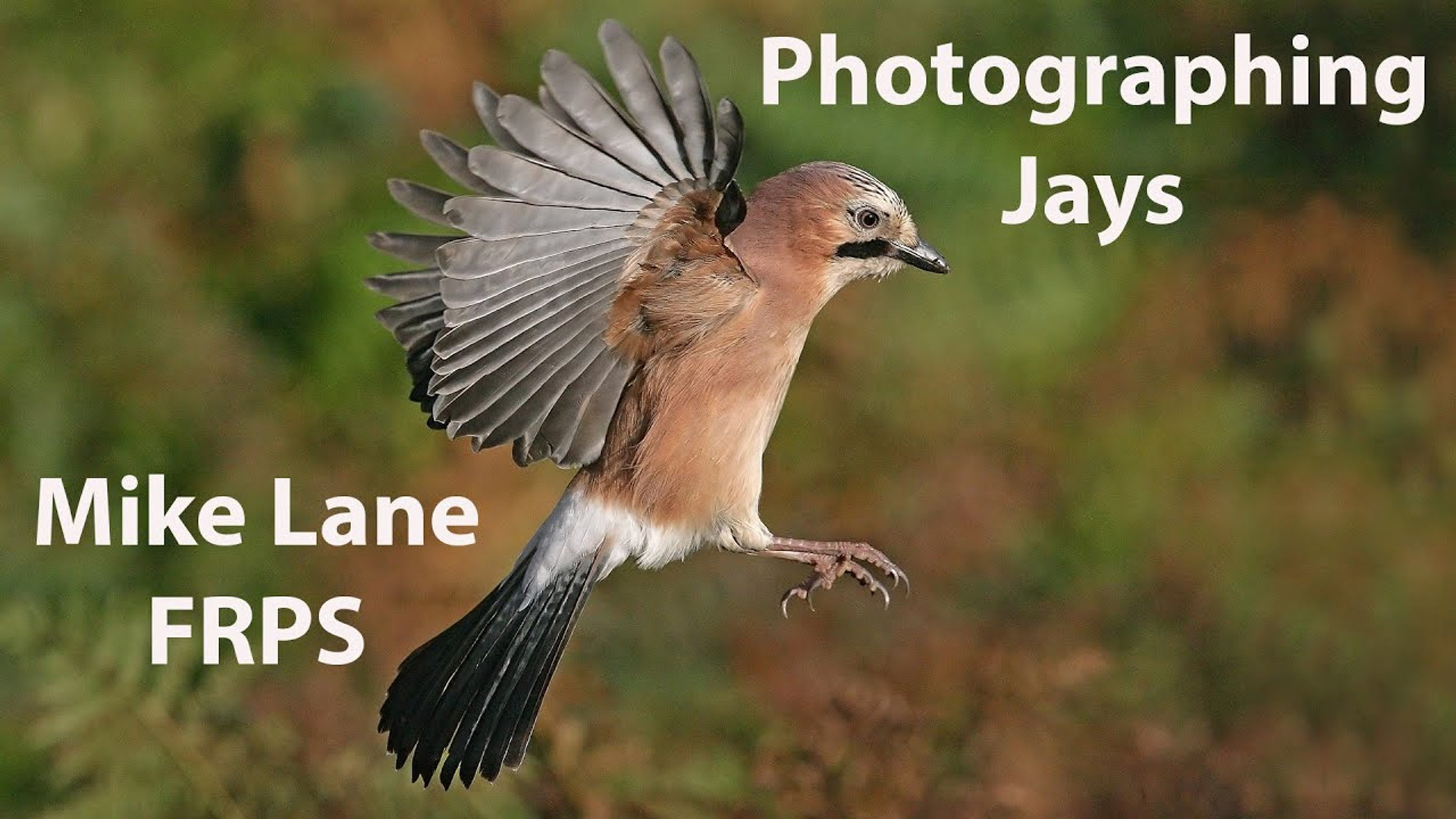 Photographing Jays