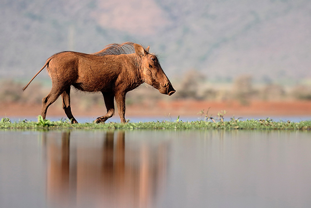 Warthog, Phacochoerus aethiopicus, single mammal by water, South Africa, August 2016