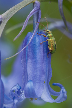 Bluebell and Phyllobius pomaceus