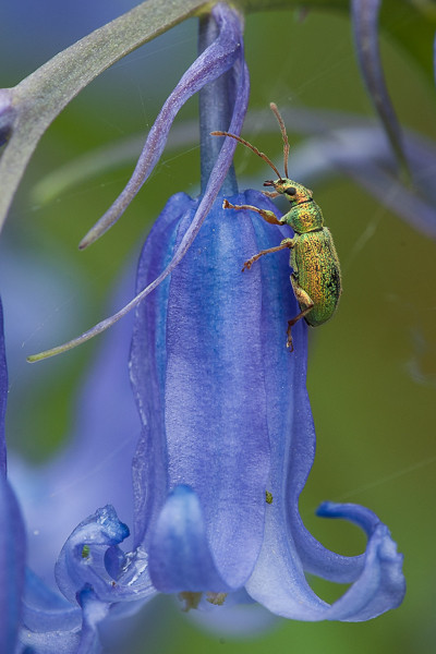 Bluebell and Phyllobius pomaceus