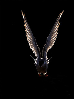 Arctic Tern, backlit