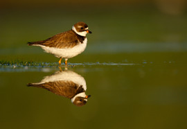 Semipalmated plover 82569.jpg