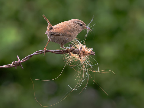 Wren collecting hair for nest