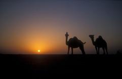 Arabian camel 27.jpg