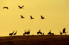 Common crane 10.jpg