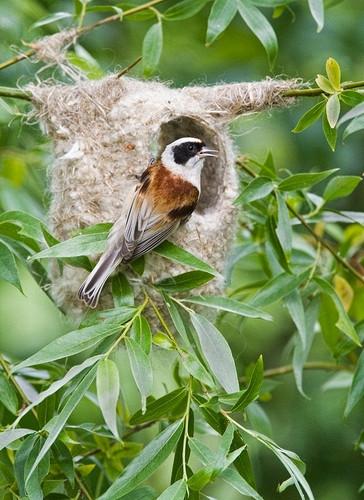 Penduline tit on nest